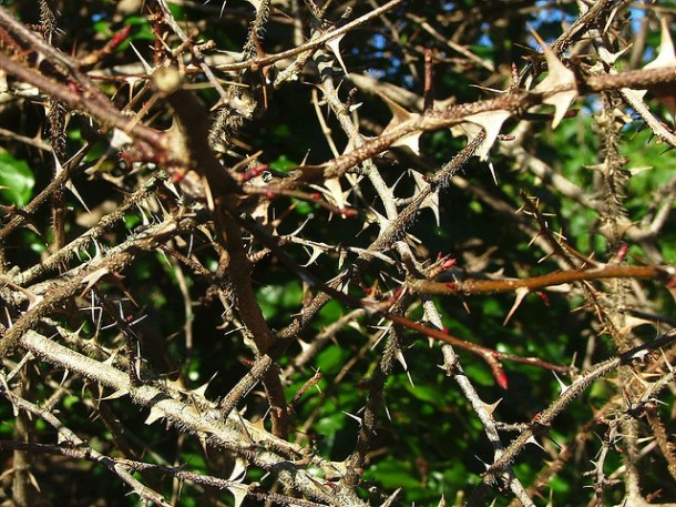 Thorny Soil